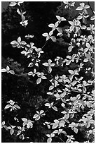 Backlit dogwood leaves and blooms, Merced Grove. Yosemite National Park, California, USA. (black and white)