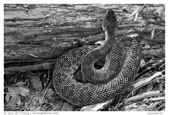 Rattlesnake. Yosemite National Park (black and white)