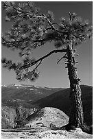 North Dome framed by pine tree. Yosemite National Park, California, USA. (black and white)