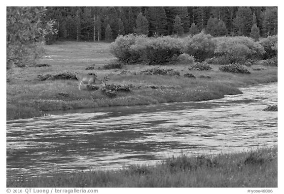 Deer in meadow next to river, Lyell Canyon. Yosemite National Park (black and white)