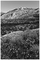 Wildflowers above Fletcher Creek Valley. Yosemite National Park ( black and white)