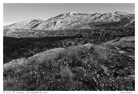 Wildflowers and ridge, Fletcher Creek, early morning. Yosemite National Park (black and white)