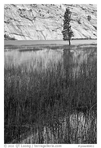 Tree and reflections, Merced Lake. Yosemite National Park (black and white)