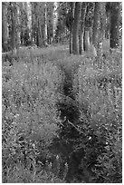Trail through lush wildflowers. Yosemite National Park ( black and white)