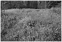 Summit Meadow with summer flowers. Yosemite National Park ( black and white)