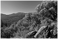 Manzanita tree on outcrop and forested hills, Wawona. Yosemite National Park ( black and white)