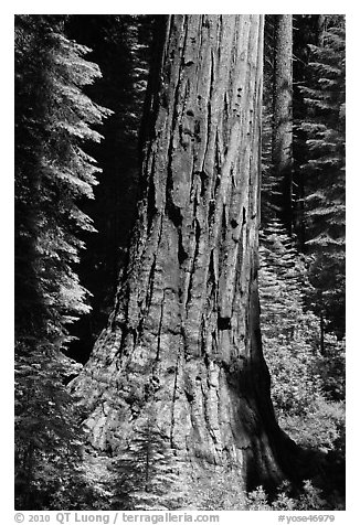 Base of Giant Sequoia tree in Mariposa Grove. Yosemite National Park (black and white)