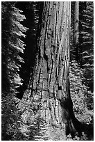 Base of Giant Sequoia tree in Mariposa Grove. Yosemite National Park, California, USA. (black and white)