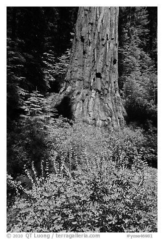 Lupine at the base of Giant Sequoia tree, Mariposa Grove. Yosemite National Park (black and white)