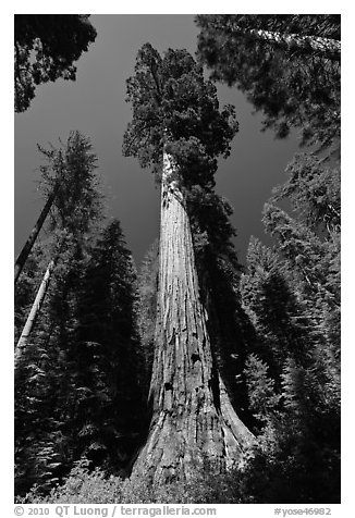 Giant Sequoia trees in summer, Mariposa Grove. Yosemite National Park (black and white)