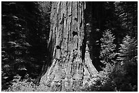 Base of Giant Sequoia tree (Sequoiadendron giganteum) Mariposa Grove. Yosemite National Park, California, USA. (black and white)