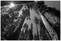 Sun and forest of Giant Sequoia trees. Yosemite National Park, California, USA. (black and white)