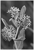 Showy Milkweed. Yosemite National Park ( black and white)