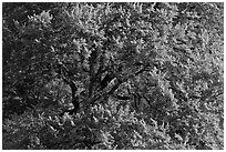 Elm Tree, summer. Yosemite National Park, California, USA. (black and white)
