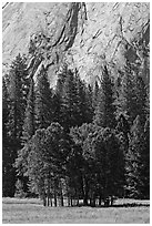 Aspen cluster and Glacier Point Apron, summer. Yosemite National Park ( black and white)