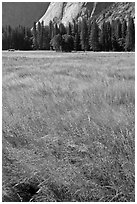 Summer grasses, Ahwanhee Meadow. Yosemite National Park ( black and white)