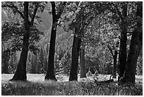Black Oak Trees, El Capitan Meadow, summer. Yosemite National Park, California, USA. (black and white)