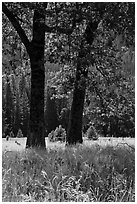 Black Oaks, El Capitan Meadow, summer. Yosemite National Park, California, USA. (black and white)