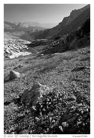 Alpine flowers on pass above Roosevelt Lake. Yosemite National Park (black and white)