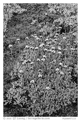 Close-up of alpine plants. Yosemite National Park (black and white)