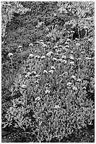 Close-up of alpine plants. Yosemite National Park ( black and white)