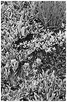 Close-up of alpine flowers. Yosemite National Park ( black and white)