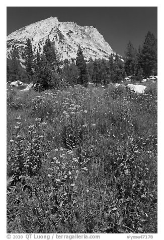 Flowers, forest, and peak. Yosemite National Park (black and white)