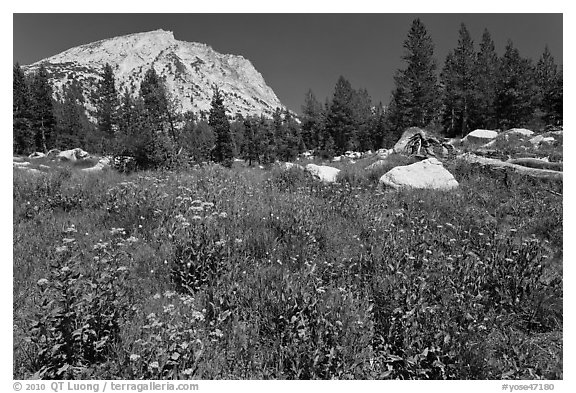 Flowers, pine trees, and mountain. Yosemite National Park (black and white)