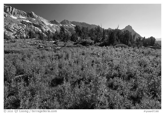 Lupine below Ragged Peak range. Yosemite National Park (black and white)