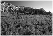 Lupine below Ragged Peak range. Yosemite National Park, California, USA. (black and white)