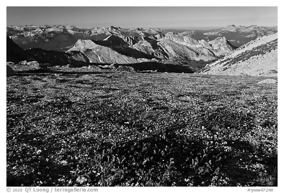 Alpine flowers and view over distant peaks, Mount Conness. Yosemite National Park (black and white)