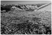 Alpine flowers and view over distant montains, Mount Conness. Yosemite National Park, California, USA. (black and white)