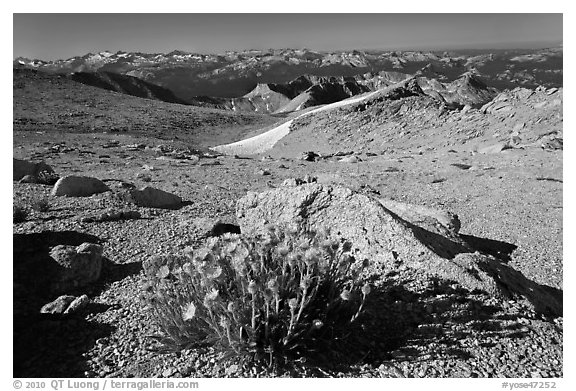Yellow flowers above timberline, Mount Conness. Yosemite National Park (black and white)