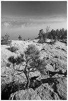 Pine sapling on Sentinel Dome. Yosemite National Park ( black and white)