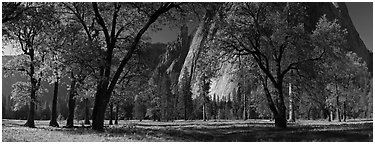 El Capitan Meadows, Black Oaks and Cathedral Rocks. Yosemite National Park, California, USA. (black and white)