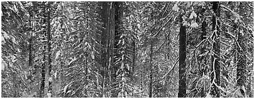 Tuolumne Grove in winter, mixed forest with snow. Yosemite National Park (Panoramic black and white)