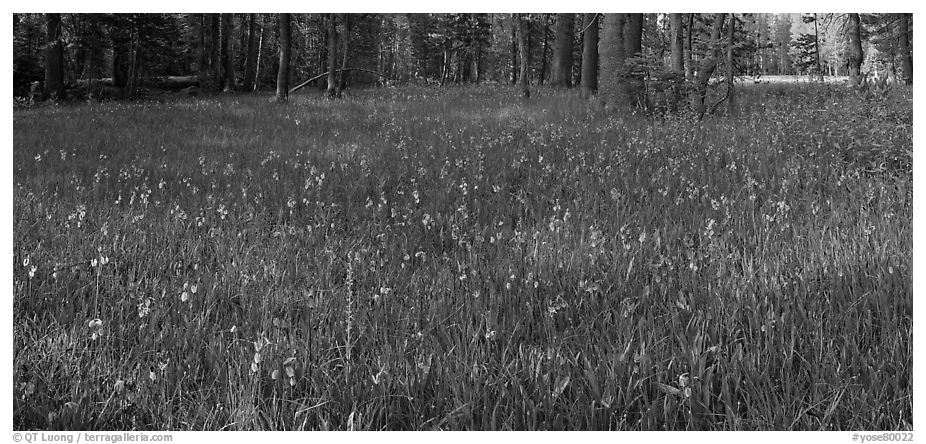 Meadow with wildflower carpet, Yosemite Creek. Yosemite National Park (black and white)