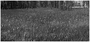 Meadow with wildflower carpet, Yosemite Creek. Yosemite National Park (Panoramic black and white)