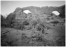 Wildflowers, dwarf tree, and Windows at sunrise. Arches National Park ( black and white)