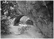 Juniper and glowing Navajo Arch, late morning. Arches National Park ( black and white)