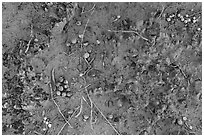 Close-up of Cryptobiotic crust with fallen berries. Arches National Park, Utah, USA. (black and white)