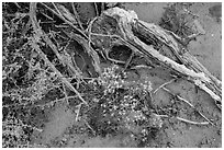 Ground close-up with wildflowers, roots, and rain marks in sand. Arches National Park ( black and white)