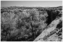 Cottonwood trees, Courthouse Wash rim, and La Sal mountains. Arches National Park, Utah, USA. (black and white)