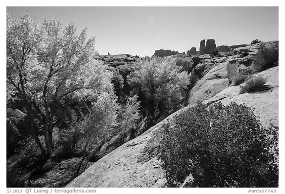 Bush and cottonwoods in autumn, Courthouse Wash and Towers. Arches National Park (black and white)