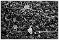 Ground view: Wildflowers, fallen leaves, and grasses, Courthouse Wash. Arches National Park, Utah, USA. (black and white)