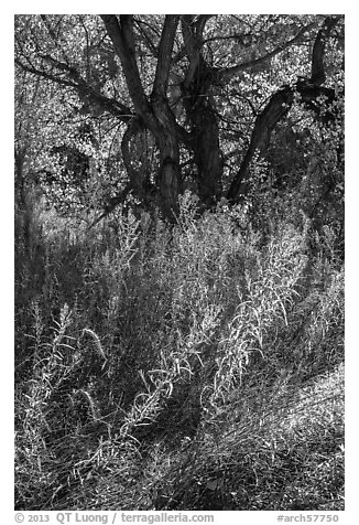 Grasses and trees in autumn, Courthouse Wash. Arches National Park (black and white)