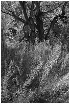Grasses and trees in autumn, Courthouse Wash. Arches National Park, Utah, USA. (black and white)
