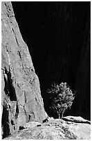 Tree on rim near exclamation point. Black Canyon of the Gunnison National Park, Colorado, USA. (black and white)