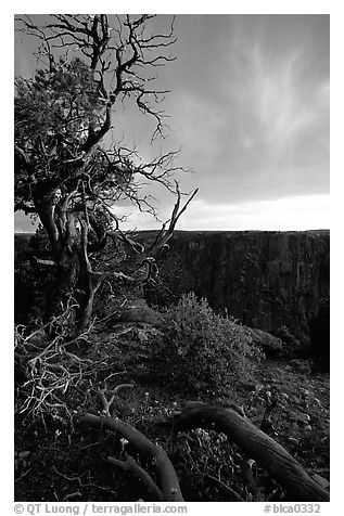 Gnarled trees at sunset, North rim. Black Canyon of the Gunnison National Park (black and white)