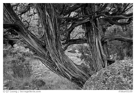 Juniper trees. Black Canyon of the Gunnison National Park (black and white)